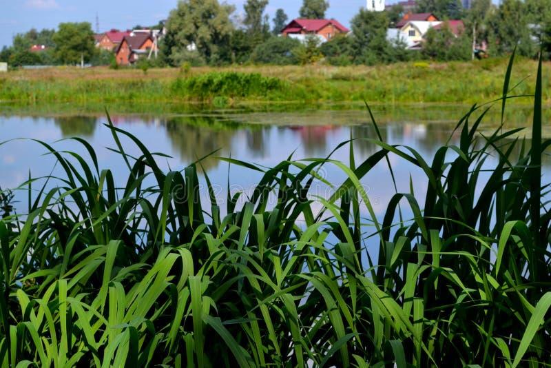Os juncos no rio fotografia de stock