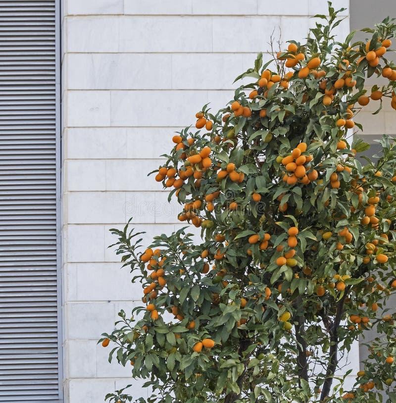 Os Kumquats são um grupo de árvores frutíferos pequenas no Rutaceae de florescência da família de planta fotos de stock royalty free