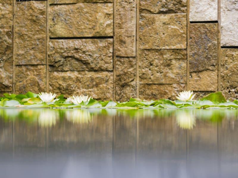 Os lírios de água bonitos na casa de campo de Getty fotos de stock royalty free