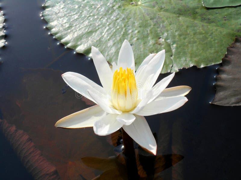 Os lótus brancos na lagoa foto de stock