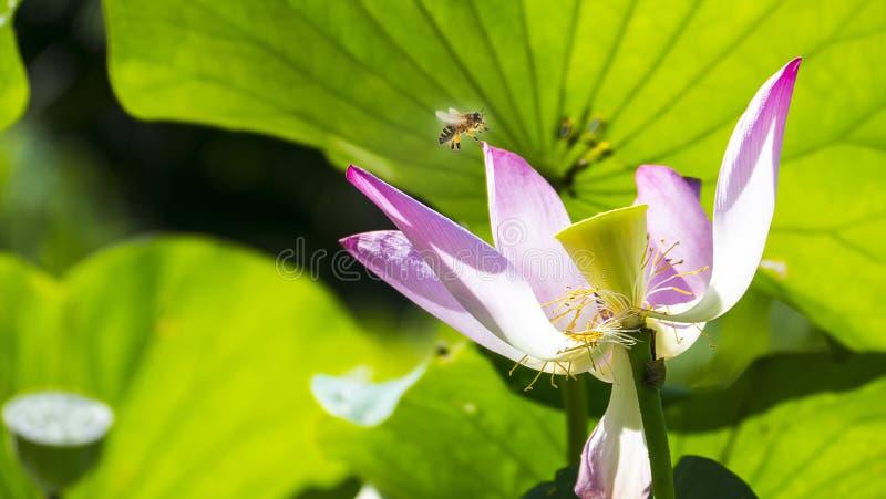Os lótus cor-de-rosa com verde agradável saem da cor do fundo imagem de stock