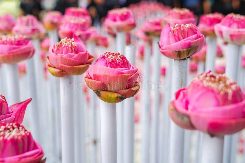 Os lótus cor-de-rosa e brancos muito das FO derate no evento da flor, para o backgr fotos de stock royalty free