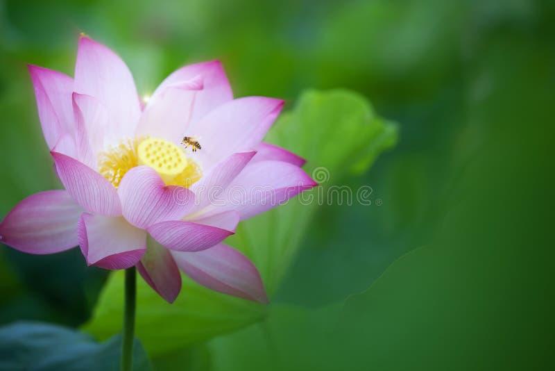 Os lótus da beleza ou o lírio de água cor-de-rosa estão no close up na lagoa com a abelha dois lá imagem de stock