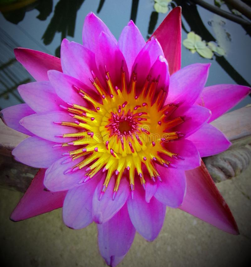 Os lótus da flor tailandeses acreditam foto de stock
