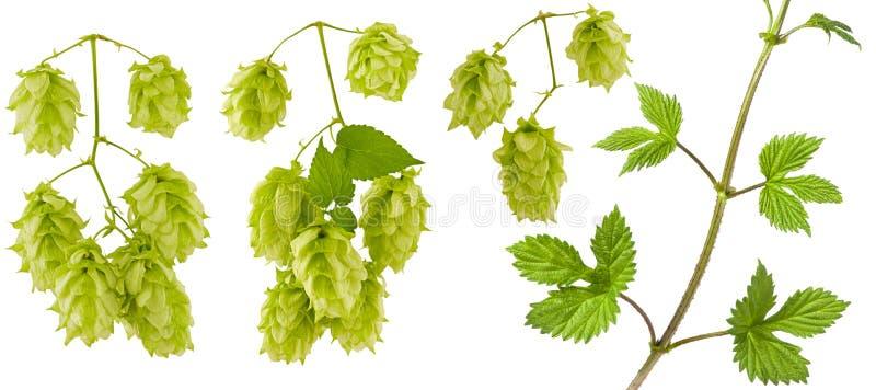 Os l?pulos isolaram-se Ramo com os cones de lúpulo e as folhas verdes isolados no fundo branco fotografia de stock royalty free