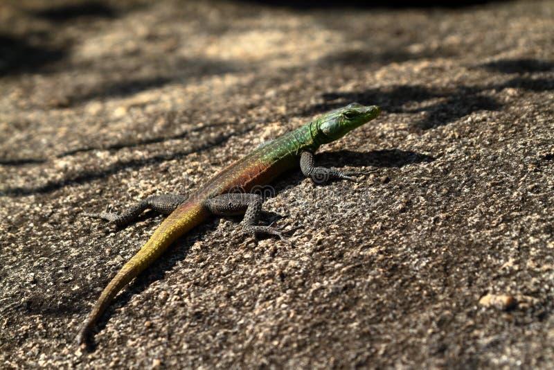 Os lagartos em Zimbabwe foto de stock royalty free