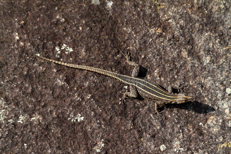 Os lagartos em Zimbabwe fotografia de stock