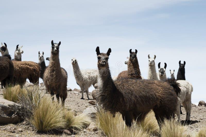 Os lamas em torno do sal boliviano abandonam, Salar de Uyuni, Bolívia fotografia de stock royalty free