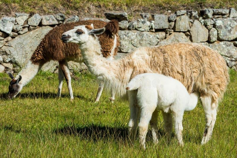Os lamas Machu Picchu arruinam o Peru peruano de Andes Cuzco foto de stock royalty free