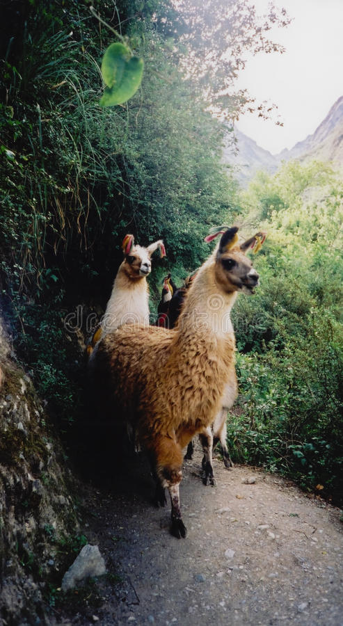 Os lamas no inca arrastam o picchu peru do machu fotos de stock