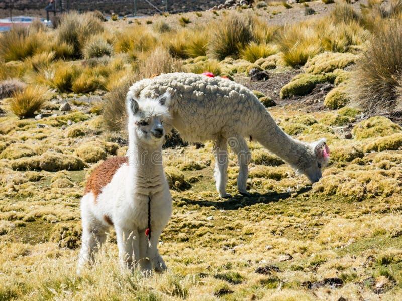Os lamas pastam através das regiões pantanosas do altiplano boliviano perto de t foto de stock royalty free