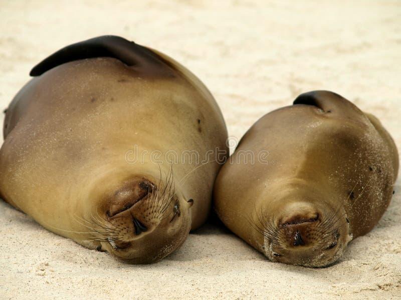 Os leões-marinhos de Galápagos embebem acima o sol imagens de stock royalty free