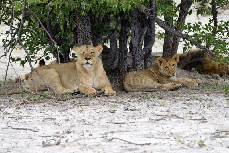 Os leões orgulham-se, Namíbia imagem de stock
