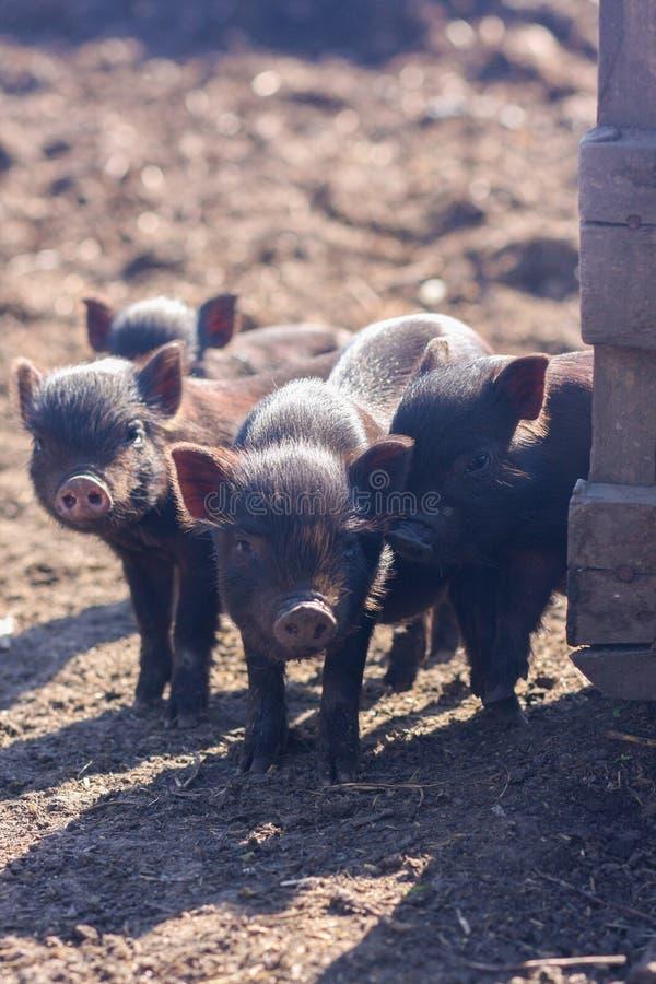 os leitão são bonitos pouco Família dos porcos fotografia de stock royalty free