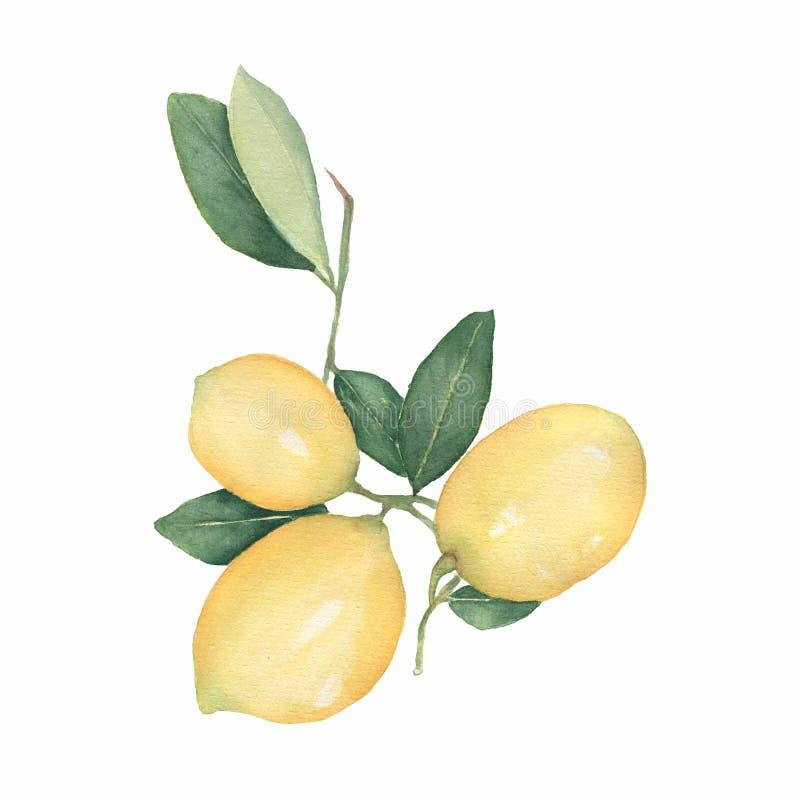 Os limões ramificam isolado no fundo branco Ilustração tirada mão da aguarela Limão fresco com folhas verdes Elemento do alimento ilustração royalty free