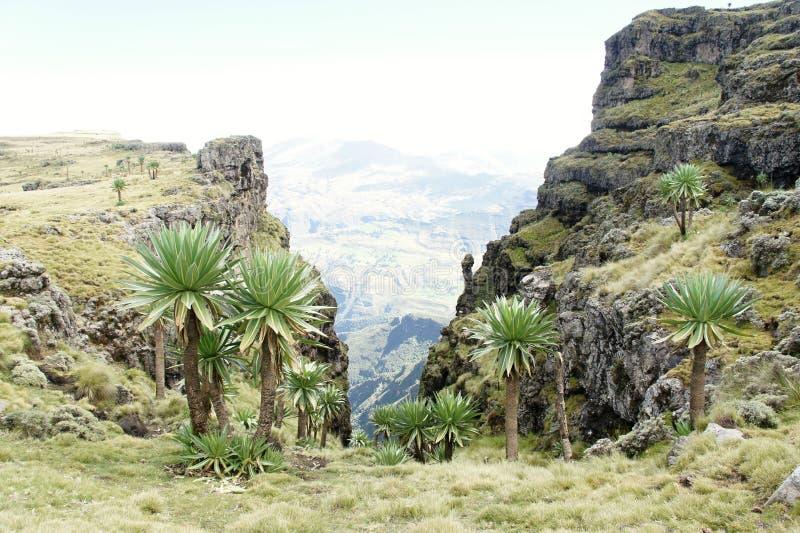 Os lobelias gigantes perto de Geech acampam em montanhas de Simien imagens de stock royalty free