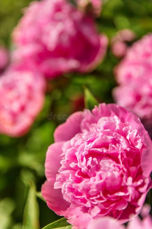 Os lotes do peonie cor-de-rosa florescem em um arbusto, cumprimentos para o Valentim imagem de stock