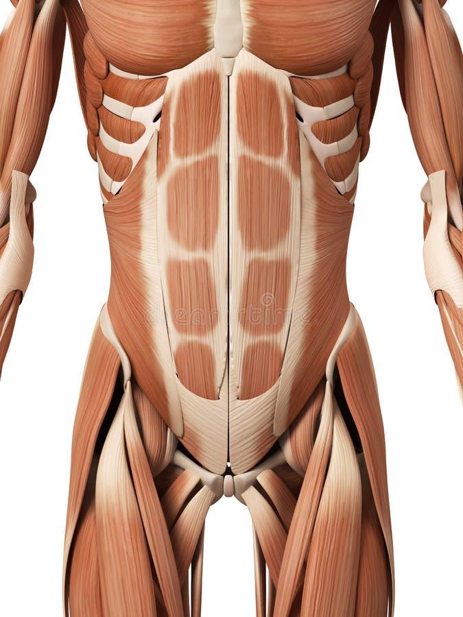 Os músculos abdominais ilustração do vetor