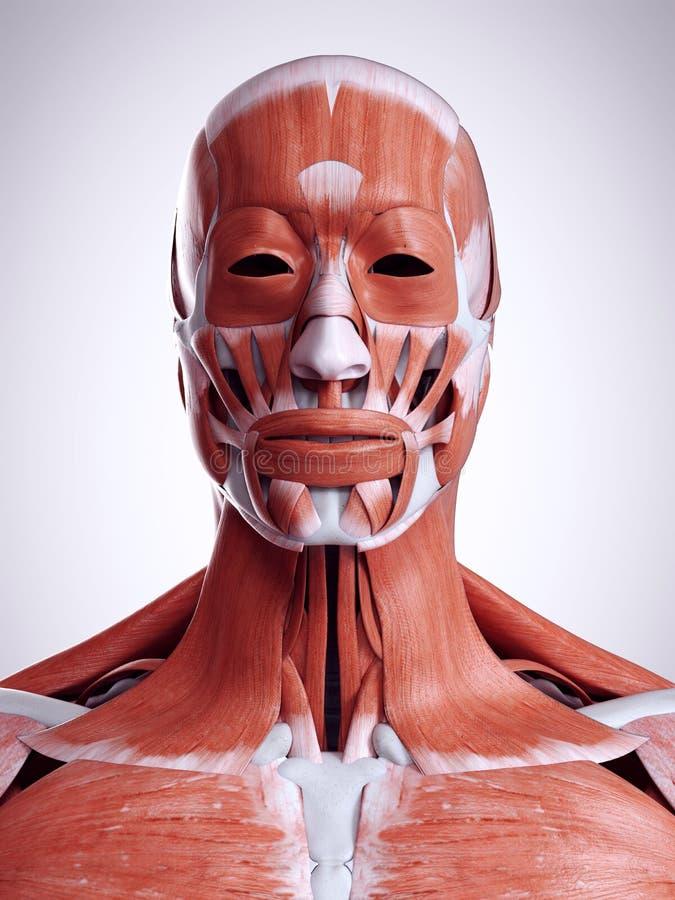 Os músculos da cabeça e do pescoço ilustração royalty free