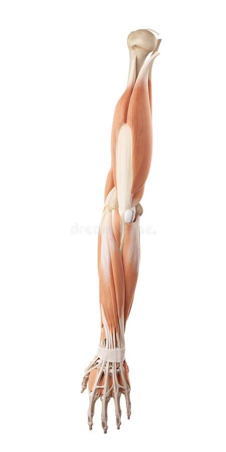 os músculos do braço ilustração do vetor