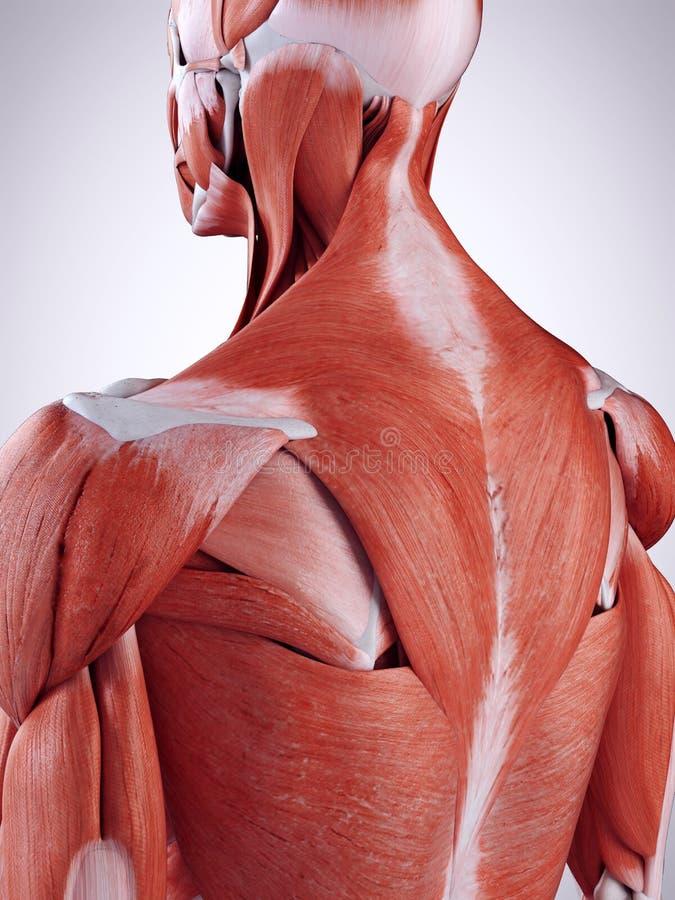 Os músculos traseiros superiores ilustração do vetor