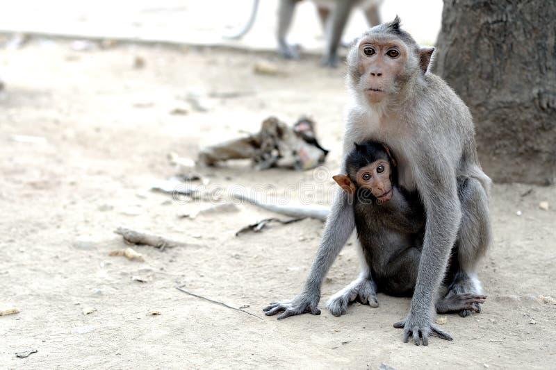 Os macacos agrupam a tomada alimento do animal natural foto de stock royalty free