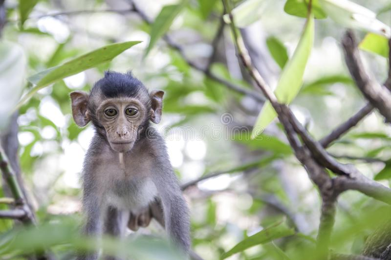 Os macacos bonitos vivem em uma floresta natural de Tailândia imagem de stock royalty free