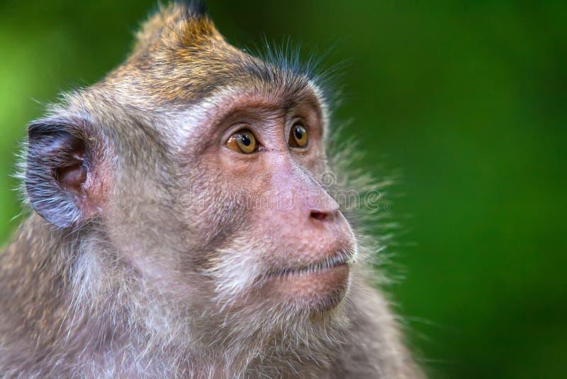 Os macacos bonitos vivem na floresta do macaco de Ubud, Bali, Indonésia imagens de stock