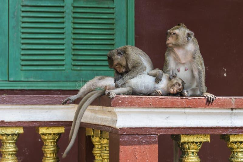 Os macacos da família Sihanoukville Camboja de Wat Leu Temple The foto de stock