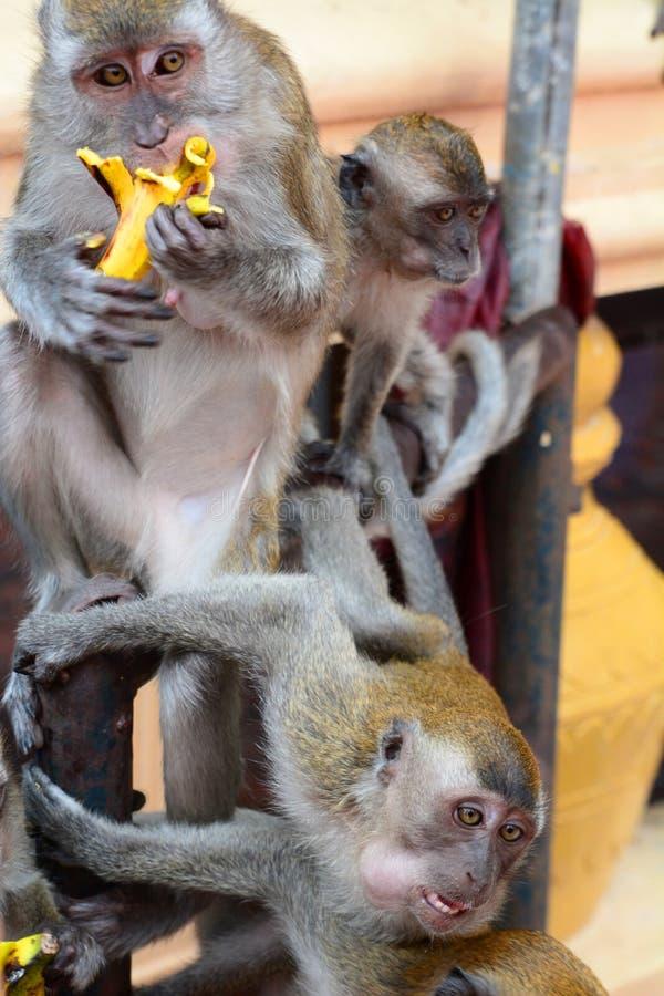 Os macacos em Batu cavam o templo hindu Gombak, Selangor malaysia foto de stock royalty free