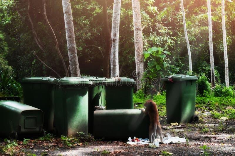 Os macacos estão procurando pelo alimento na área da eliminação de resíduos do ` s do parque, atrações naturais foto de stock royalty free