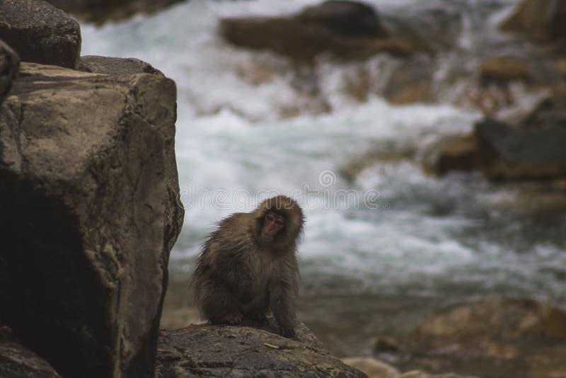Os macacos que da neve os Macaques japoneses se banham onsen dentro Hot Springs de Nagano, Japão foto de stock royalty free