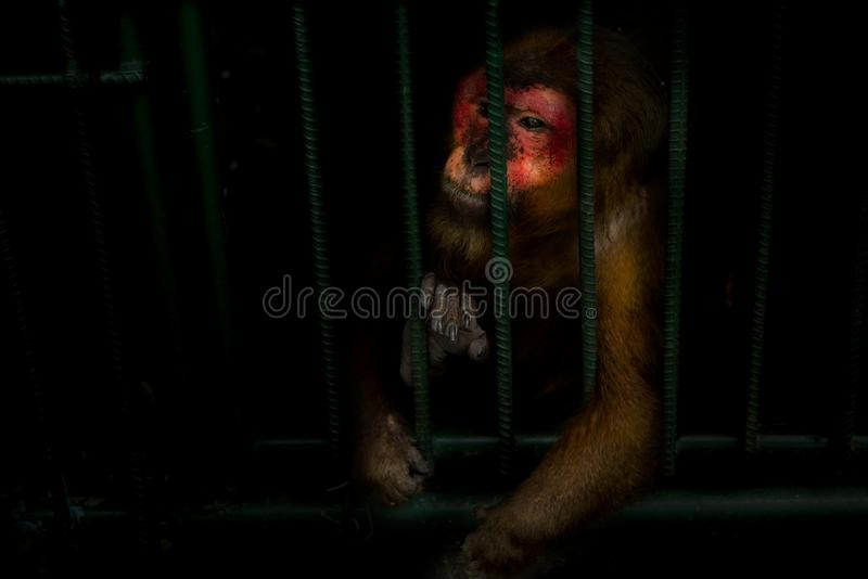 Os macacos são prendidos em uma gaiola de aço e exibem a crueldade da humanidade fotografia de stock royalty free