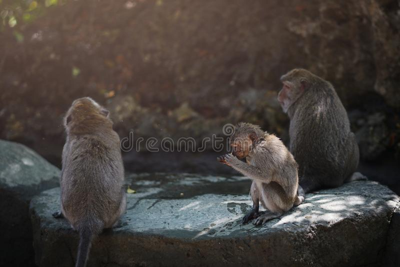 Os macacos sentam-se na pedra grande e em comer - Bali Indonésia fotografia de stock