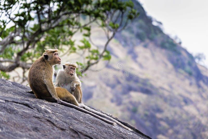 Os macaques do Toque em Dambulla cavam o templo, Sri Lanka imagens de stock royalty free