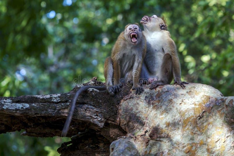 Os macaques do Toque sentam-se em uma árvore no parque nacional de Yala em Sri Lanka imagem de stock royalty free