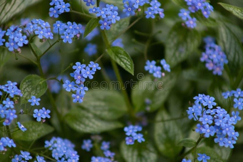 Os macrophiles azuis pequenos de Brunner das flores florescem na primavera jardim imagens de stock royalty free