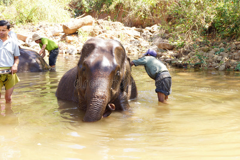 Os Mahouts lavam seu elefante foto de stock