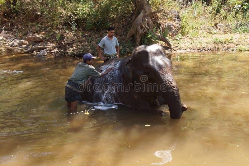 Os Mahouts lavam seu elefante fotos de stock