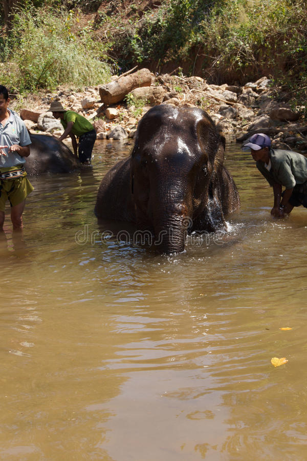 Os Mahouts lavam seu elefante foto de stock royalty free