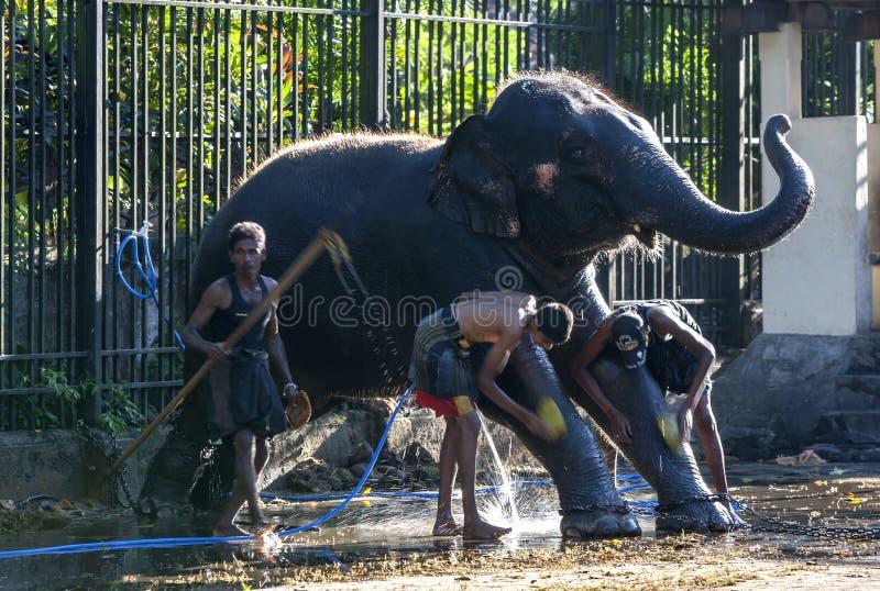 Os Mahouts lavam seu elefante no templo da relíquia sagrado do dente antes do Esala Perahera em Kandy em Sri Lanka fotos de stock