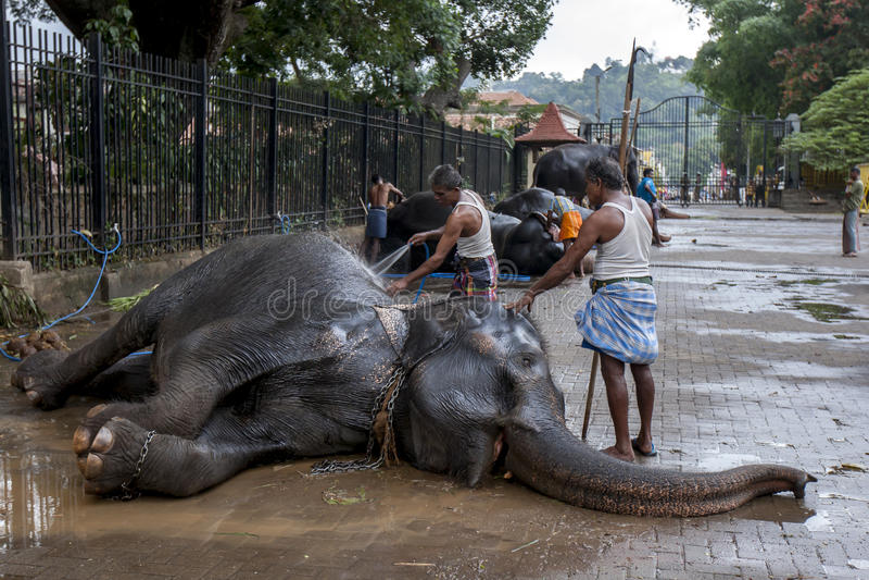 Os Mahouts lavam um elefante cerimonial antes do Esala Perahera em Kandy em Sri Lanka imagem de stock royalty free
