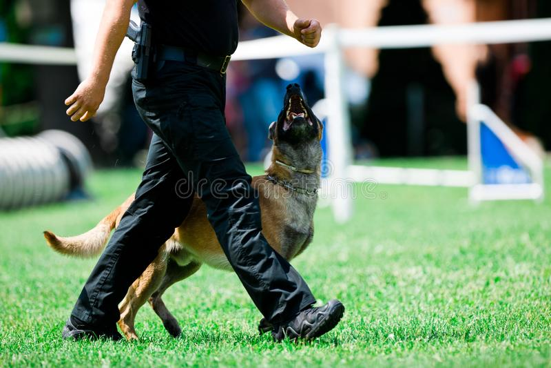 Os malinois do cão de polícia andam ao lado do homem da polícia fotos de stock