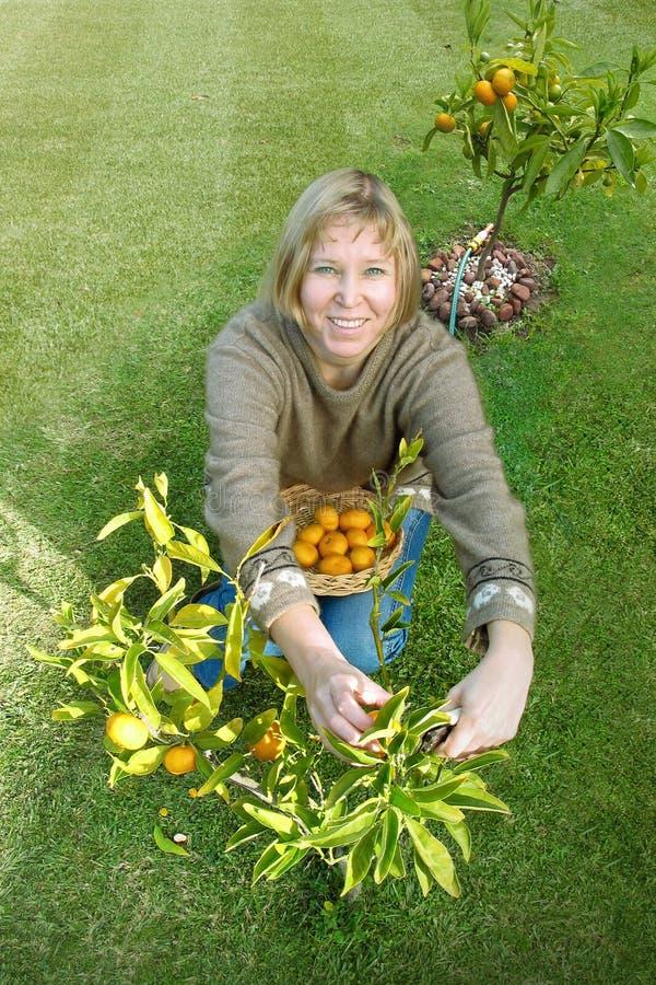 Os mandarino da colheita fotos de stock royalty free