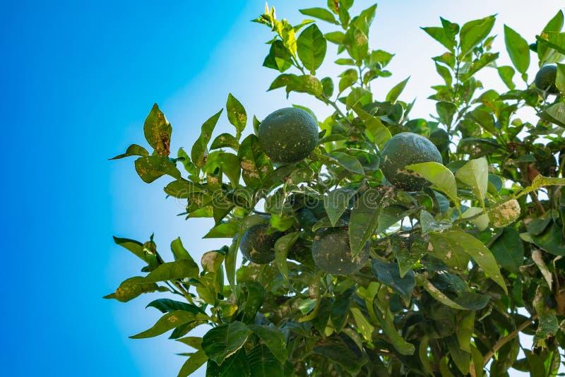 Os mandarino e citrino da doença crescidos no jardim Ponto bacteriano do citrino imagens de stock