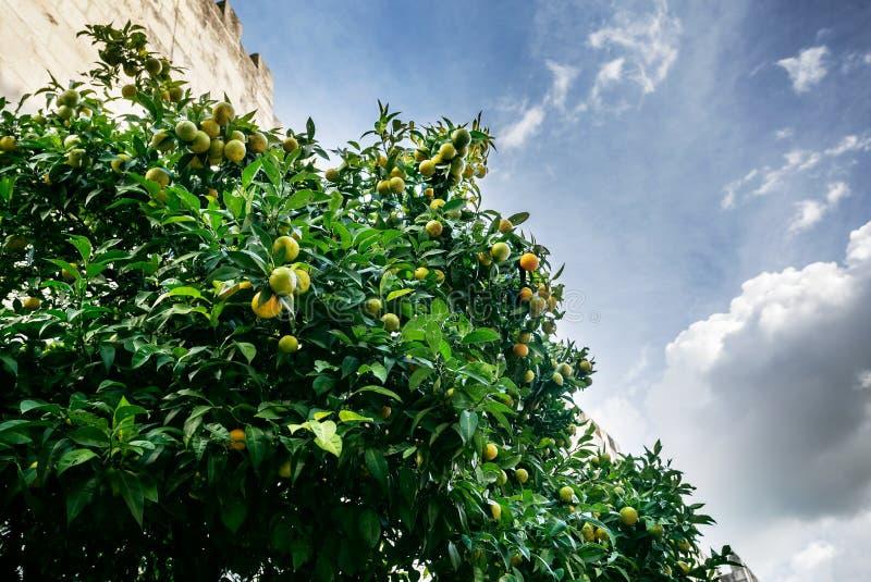 Os mandarino na árvore foto de stock royalty free