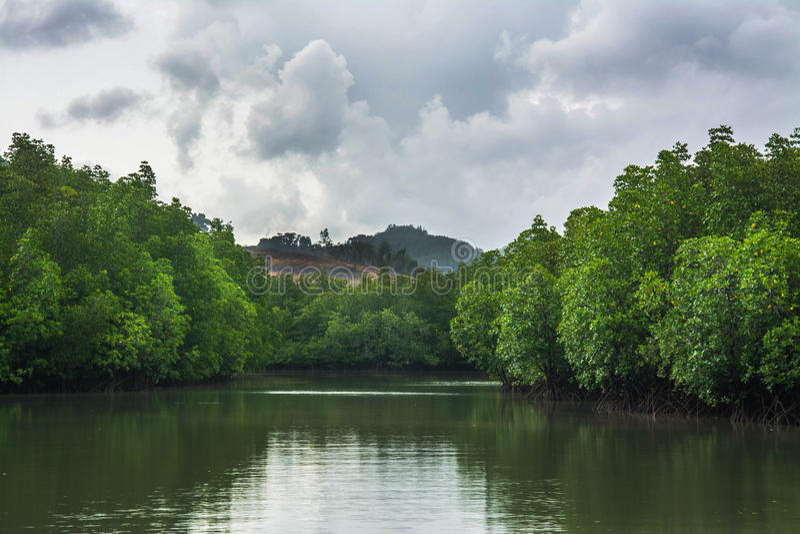 Os manguezais reflorestam foto de stock