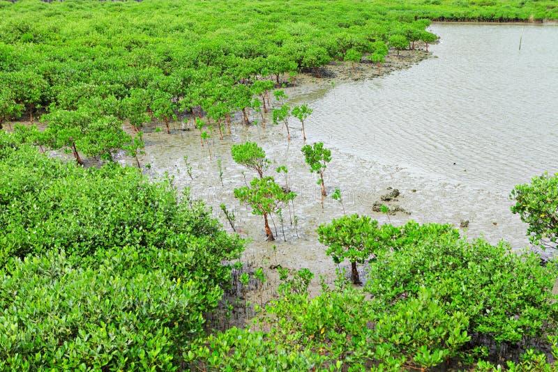 Os manguezais vermelhos crescem a água do mar próxima fotografia de stock