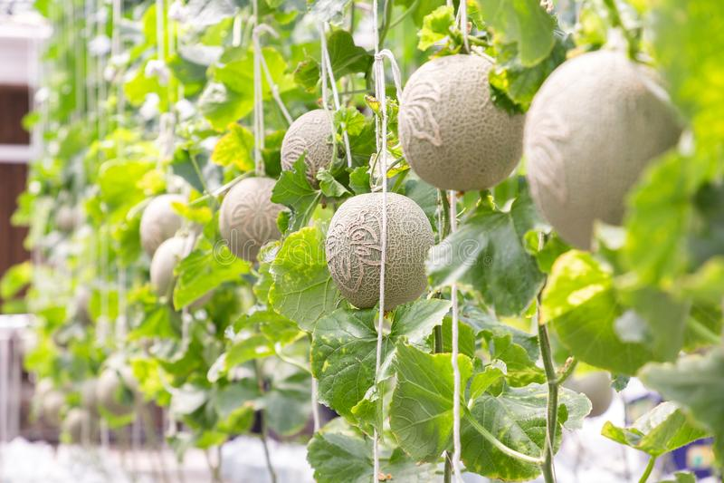 Os melões verdes ou os melões do cantalupo plantam o crescimento na estufa fotos de stock