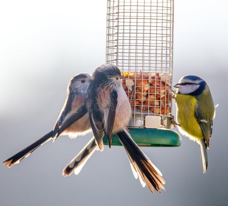 Os melharucos atados longos e o melharuco azul empoleiraram-se no alimentador imagens de stock